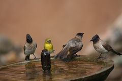 Four wild birds bathing Royalty Free Stock Photography