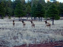 Four Wild Deer Running in a Meadow in Arizona. Four wild deer running through a grassy field into the pine trees in a forest outside Winslow, Arizona royalty free stock photos