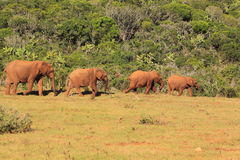 Four wild elephants Stock Photos