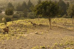 Four wild goats are grazed in an olive grove. Four wild goats of a type of a kri-kri are grazed in an olive grove lit with the evening sun Royalty Free Stock Photo