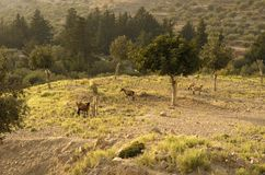 Four wild goats are grazed in an olive grove. Four wild goats of a type of a kri-kri are grazed in an olive grove lit with the evening sun Stock Photos