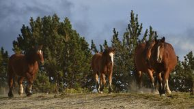 Four wild horses. Wild horses galloping downhill at late afternoon Royalty Free Stock Image