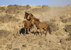 Four Wild Horses On A Hillside Royalty Free Stock Photos