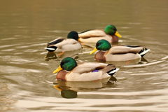 Four wild mallard ducks on the lake Stock Photography