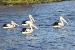 Four wild Pelicans swimming river, Western Australia Royalty Free Stock Photography