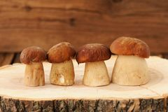 Four wild porcini mushrooms standing in a row on wooden board wi Royalty Free Stock Photography