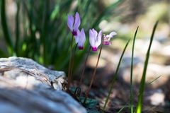 Four wild purple cyclamens in the forest. Near the stone Royalty Free Stock Image