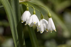 Four wild snowdrop flowers. A bunch of 4 snowdrops growing in a forest clearing in springtime England Stock Photos