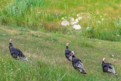 Four Wild Turkey eating grass on a mountain hill royalty free stock image