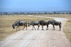 Four Wildebeests Royalty Free Stock Images