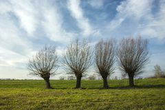 Four willows without leaves on a green meadow. White clouds in the blue sky Stock Photo