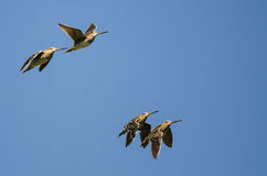 Four Wilson's Snipe Flying in a Blue Sky Stock Image