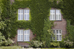 Four windows and wall covered in ivy leaves. An old house with four windows and its red brick wall covered in ivy leaves royalty free stock photo