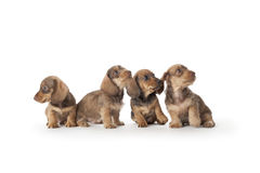 Four wire-haired dachshund puppies. On white background Stock Image