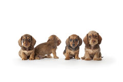 Four wire-haired dachshund puppies. On white background Stock Photos