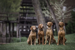 Four Wirehaired Vizslas. Wirehaired Vizslas are posing on the riverside Royalty Free Stock Photos