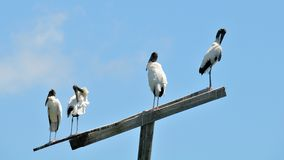Four Wood stork birds on top of a pole in wetlands Royalty Free Stock Image