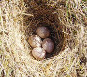 Four woodlark eggs in nest  on ground Stock Photography