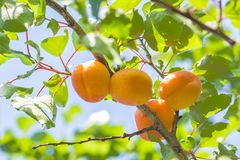 Four yellow apricots on a branch among green foliage Royalty Free Stock Photo