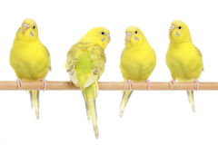 Four yellow budgie on branch Stock Images