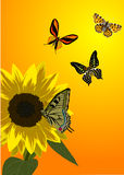 Four yellow butterflies and sunflower Stock Images