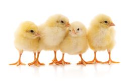 Four yellow chicken. Four yellow chicken on a white background royalty free stock photo