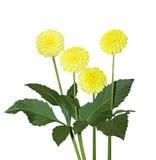 Four Yellow Dahlia Royalty Free Stock Photography