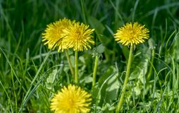 Four yellow dandelions in the grass close-up stock photos