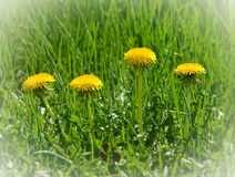 Four yellow dandelions in row Stock Photo