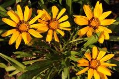 Four Yellow gazania Stock Images