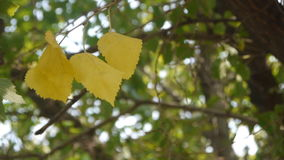 Four Yellow Leaves stock video