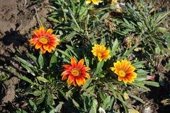 Four yellow and orange flowers of gazania Royalty Free Stock Photo
