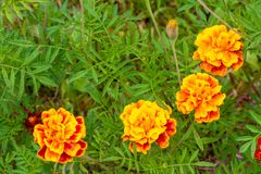 These four yellow-orange flowers of marigold are located in an a stock images