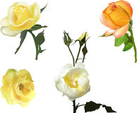 Four yellow roses collection Stock Photo