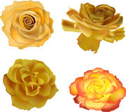 Four yellow roses isolated on white Stock Photo