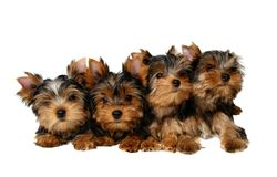 Four yorkshire puppies. Isolated on the white background Stock Image