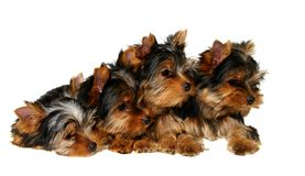 Four yorkshire puppies. Isolated on the white background Royalty Free Stock Photo