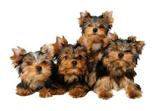 Four yorkshire puppies. Isolated on the white background Stock Photography