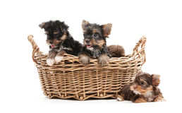 Four yorkshire terrier puppies in a basket Stock Photography