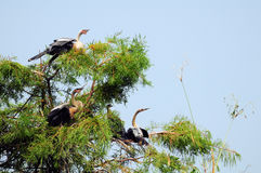Four Young Anhinga Birds Royalty Free Stock Photo