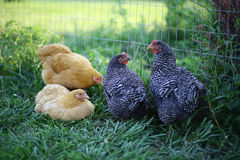 Four young chickens by a fence in the grass. During the early morning stock image
