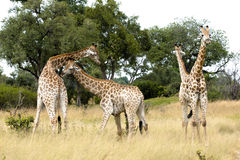 Young giraffes fighting Stock Image