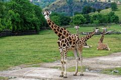 Four young giraffes in the middle of the fence. Four young giraffes in the middle of a fence with a green background Royalty Free Stock Image