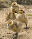 Four young goslings Stock Photos