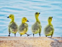 Four Young Goslings by a Lake in Spring stock image