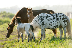 Four young horses looking forward and standing in the field. Royalty Free Stock Photos