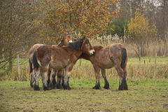 Four young horses seeking comfort with each other on a cold winter day Stock Photo