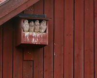 The four young kestrels. The four brothers and sisters of the kestrel family together the last day in the nesting box. Uppland, Sweden stock photography