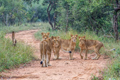 Four young Lions starring at the camera.animal, cat, wild, lion, wildlife, nature, feline, carnivore, african, dangerous, leo, big Stock Photos