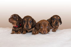 Miniature dachshund puppies on fluffy white blanket. Four young miniature dachshund puppies sitting on fluffy white blanket facing the camera Stock Photo